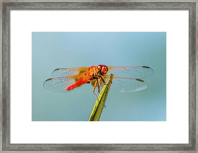 Flame Skimmer Dragonfly Drying Framed Print by Michael Qualls