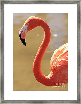 Flaming Flamingo Framed Print by Carol Groenen
