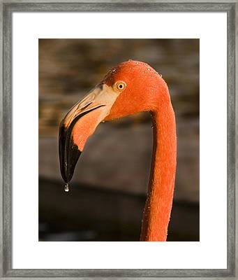Flamingo Framed Print by Adam Romanowicz