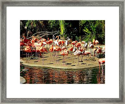 Flamingo Family Reunion Framed Print by Karen Wiles