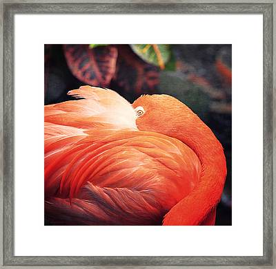 Flamingo Il Framed Print by Maria Angelica Maira