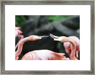 Flamingo Moment Framed Print by Dan Sproul