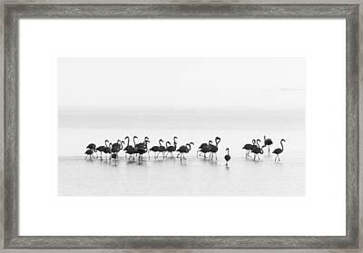 Flamingos Framed Print by Joan Gil Raga