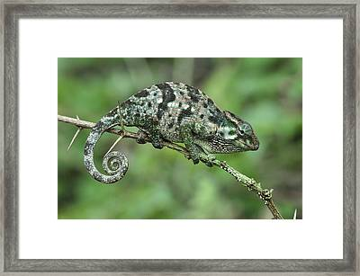Flap-necked Chameleon Female Tanzania Framed Print by Thomas Marent