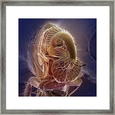 Flea Framed Print by Ami Images