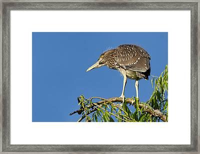 Fledgling Black-crowned Night Heron Framed Print by Kathleen Bishop
