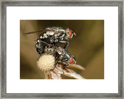 Flesh-flies Mating Framed Print by Nigel Downer