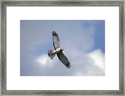 Flight Of The Harrier Framed Print by Mike  Dawson