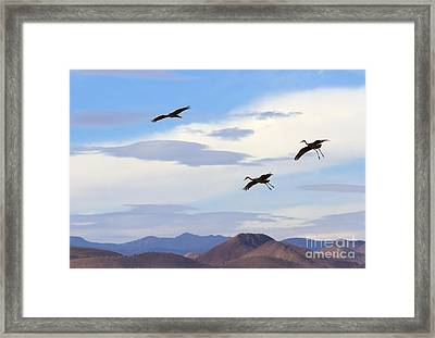 Flight Of The Sandhill Cranes Framed Print by Mike  Dawson