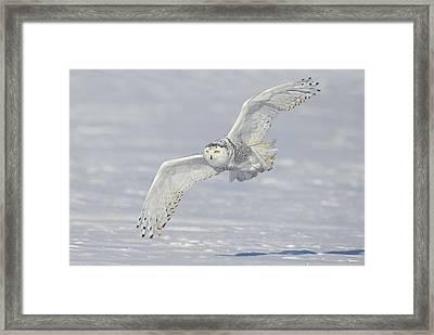 Flight Of The Snowy Framed Print by Daniel Behm