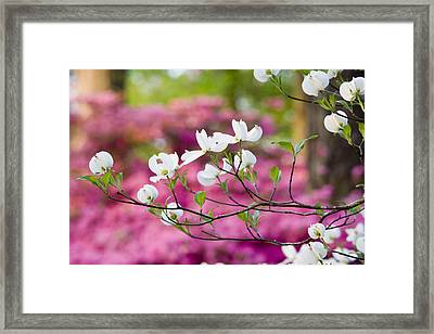 Floating Dogwood Framed Print by Eggers   Photography