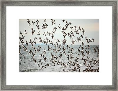 Flock Of Dunlin Framed Print by Karol Livote