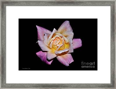 Floribunda Rose In Full Bloom Framed Print by Susan Wiedmann