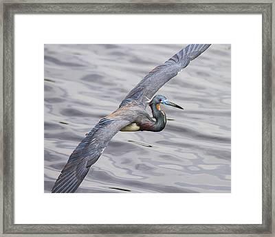 Florida Bird In Flight - Tri-colored Heron Framed Print by Bill Swindaman