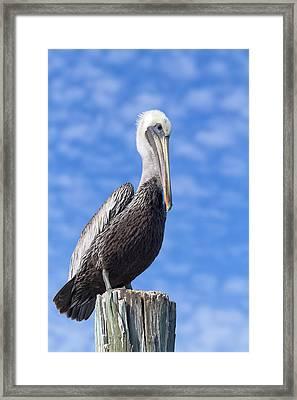 Florida Brown Pelican Framed Print by Kim Hojnacki