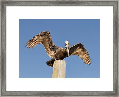 Florida Pelican Framed Print by Kim Hojnacki