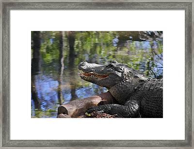 Florida - Where The Alligator Smiles Framed Print by Christine Till