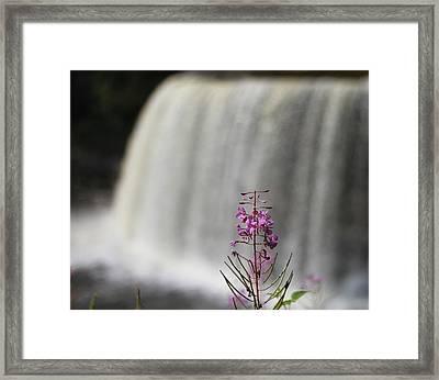 Flower At Tahquamenon Falls Framed Print by Dan Sproul