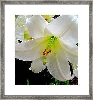 Flower Christmas Lily. Framed Print by Joyce Woodhouse