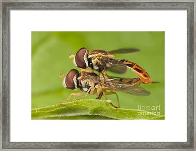 Flower Flies Mating Framed Print by Clarence Holmes