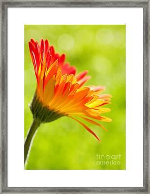 Flower In The Sunshine - Orange Green Framed Print by Natalie Kinnear