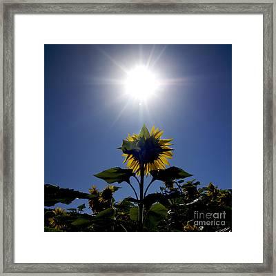 Flower Of Sunflowers Framed Print by Bernard Jaubert