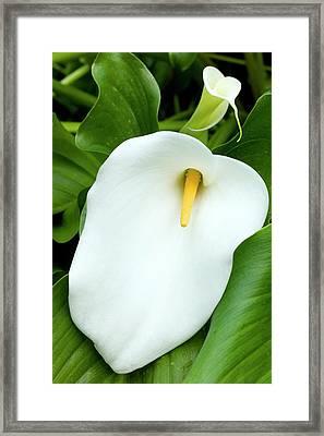 Flower Of Zantedeschia Aethiopica Framed Print by Dr Jeremy Burgess