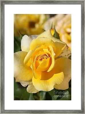 Flower-yellow Rose-delight Framed Print by Joy Watson