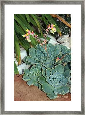 Flowering Cactus Framed Print by Rod Jones