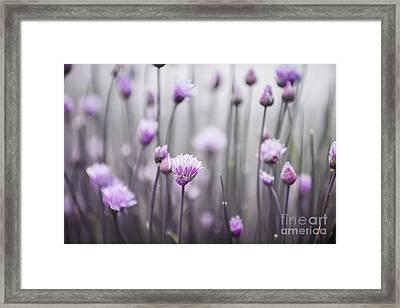 Flowering Chives IIi Framed Print by Elena Elisseeva