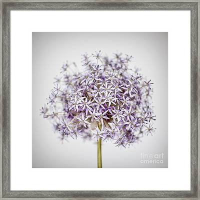 Flowering Onion Flower Framed Print by Elena Elisseeva