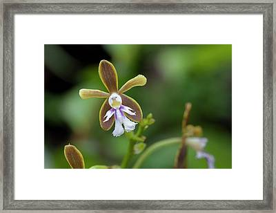 Flowering Orchid Oerstedella Exasperata Framed Print by Thomas Wiewandt