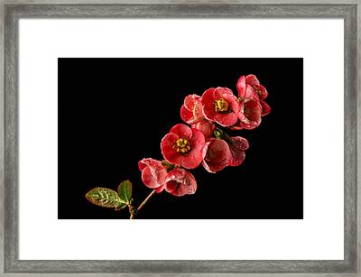 Flowering Quince Framed Print by Mary Jo Allen