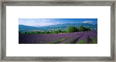 Flowers In Field, Lavender Field, La Framed Print by Panoramic Images