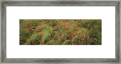 Flowers On Coral Plants Russelia Framed Print by Panoramic Images