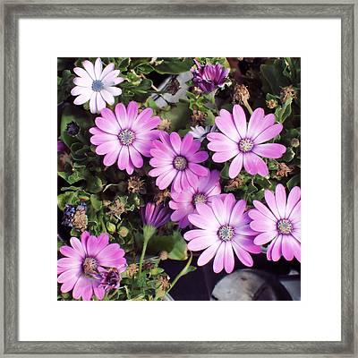 Flowers...silky Pink Framed Print by Tom Druin