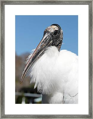 Fluffy Wood Stork Framed Print by Carol Groenen