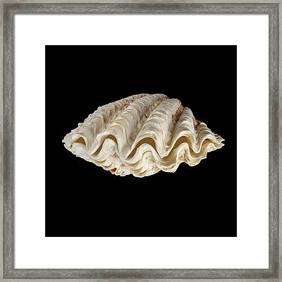 Fluted Giant Clam Shell Framed Print by Science Photo Library