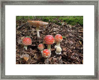 Fly Agaric Fungi (amanita Muscaria) Framed Print by Nigel Downer