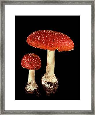 Fly Agaric Fungi Framed Print by Gilles Mermet