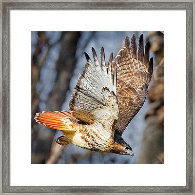 Fly Away Framed Print by Bill Wakeley