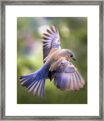 Flying Bluebird Framed Print by Jean Noren