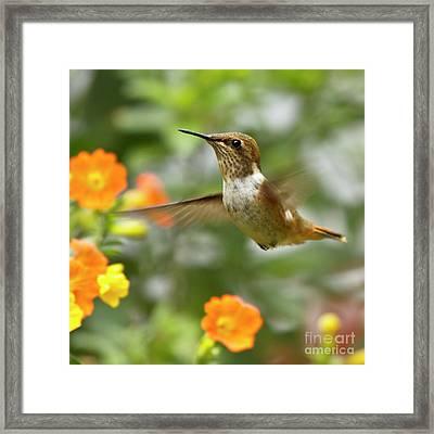Flying Scintillant Hummingbird Framed Print by Heiko Koehrer-Wagner