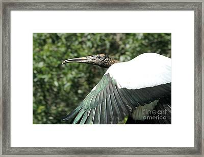 Flying Stork Framed Print by Theresa Willingham