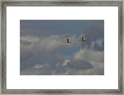 Flying Swans Through The Storm Framed Print by Dan Sproul