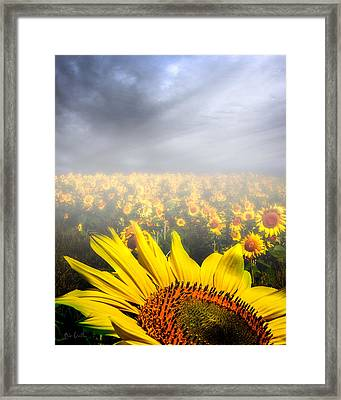 Foggy Field Of Sunflowers Framed Print by Bob Orsillo