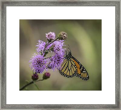 Foggy Morning Monarch Framed Print by Thomas Young