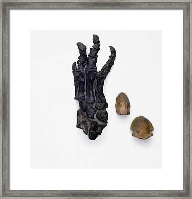 Foot Bones Of Hadrosaur And Triceratops Framed Print by Dorling Kindersley/uig