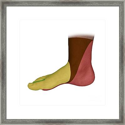 Foot Medial Nerve Regions, Artwork Framed Print by D & L Graphics