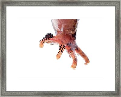Foot Of A Giant Spiny Frog Framed Print by Pan Xunbin